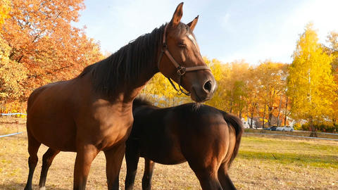 Two horses on a background of yellow trees. The bright rays of the sun. Slow Live Action