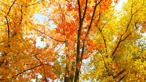Autumn trees with yellow, red and green leaves. Beautiful sunny weather. Camera Live Action