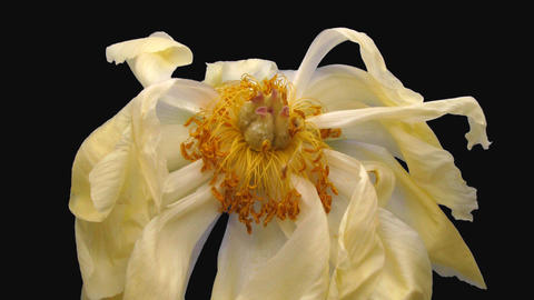 Time-lapse of resurrection dried up coral Peony with ALPHA channel, time reverse ライブ動画