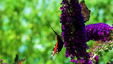 Butterflies on a Butterfly Bush Buddleja Live Action