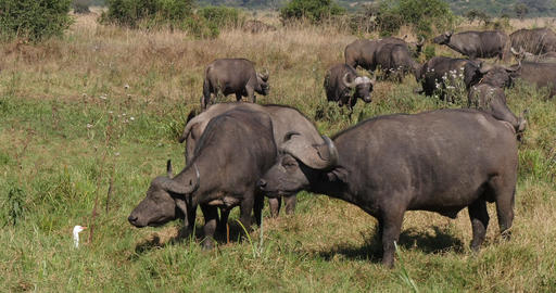 African Buffalo, syncerus caffer, Herd standing in Savannah, Nairobi Park in Kenya, Real Time 4K Live Action