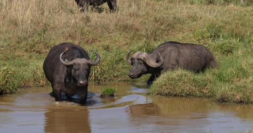 African Buffalo, syncerus caffer, Adultes at Waterhole, Nairobi Park in Kenya, Real Time 4K Live Action