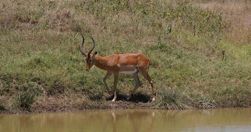 Impala, aepyceros melampus, Group standing at Waherhole, Nairobi Park in Kenya, Real Time 4K Live Action