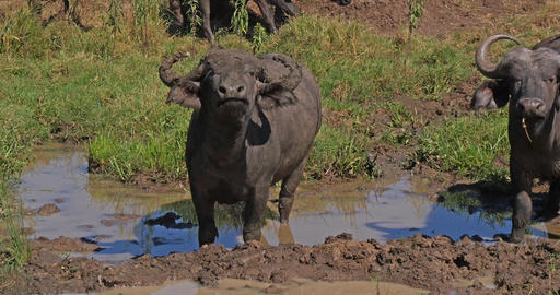 African Buffalo, syncerus caffer, having mud bath, Nairobi Park in Kenya, Real Time 4K Live Action