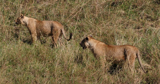 African Lion, panthera leo, Group in Savannah, Nairobi Park in Kenya, Real Time 4K Live Action