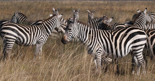 Grant's Zebra, equus burchelli boehmi, Herd at Nairobi Park in Kenya, Real Time 4K Live Action