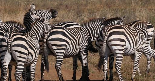 Grant's Zebra, equus burchelli boehmi, Herd at Nairobi Park in Kenya, fight, Real Time 4K Live Action