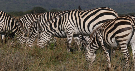 Grant's Zebra, equus burchelli boehmi, Herd eating grass at Nairobi Park in Kenya, Real Time 4K Live Action
