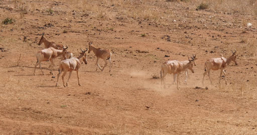 Hartebeest, alcelaphus buselaphus, Herd standing in Savanna, Tsavo Park in Kenya, Real Time 4K Live Action
