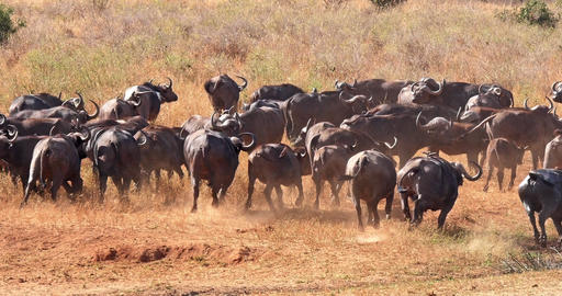 African Buffalo, syncerus caffer, Herd standing in Savannah, running, Tsavo Park in Kenya, Real Time Live Action