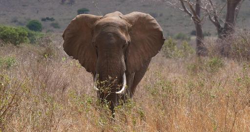 African Elephant, loxodonta africana, Adult in savannah, Trump, Tsavo Park in Kenya, Real Time 4K Live Action
