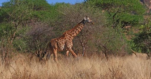 Masai Giraffe, giraffa camelopardalis tippelskirchi, Adult walking through Bush, Tsavo Park in Live Action