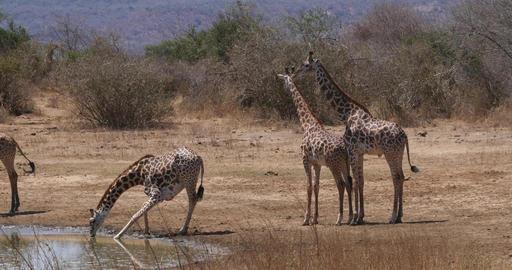 Masai Giraffe, giraffa camelopardalis tippelskirchi, Group Drinking at Water Hole, Tsavo Park in Live Action