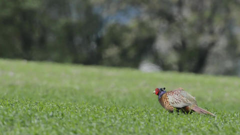Male pheasant in Denmarks landscape in summer Live Action
