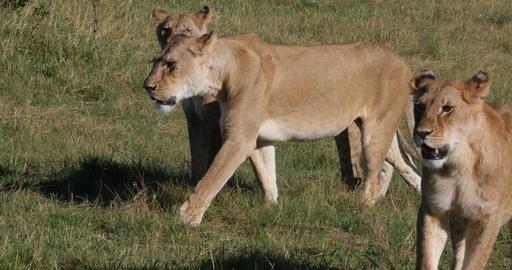 African Lion, panthera leo, Females Walking through Savannah, Tsavo Park in Kenya, Real Time 4K Live Action