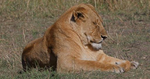 African Lion, panthera leo, Female sleeping, Nairobi Park in Kenya, Real Time 4K Live Action