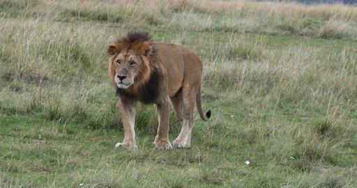 African Lion, panthera leo, Male walking through... Stock Video Footage