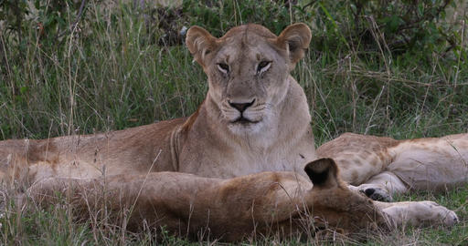 African Lion, panthera leo, Mother and Cubs, Nairobi Park in Kenya, Real Time 4K Live Action