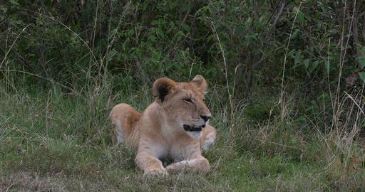 African Lion, panthera leo, Cub Yawning, Nairobi Park in Kenya, Real Time 4K Live Action