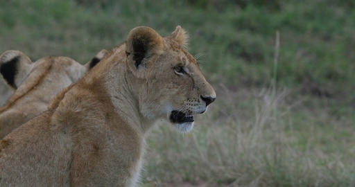 African Lion, panthera leo, portrait of Cub, Nairobi Park in Kenya, Real Time 4K Live Action