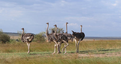 Ostrich, struthio camelus, Males and Females walking through Savanna, Masai MaraPark in Kenya, Real Live Action