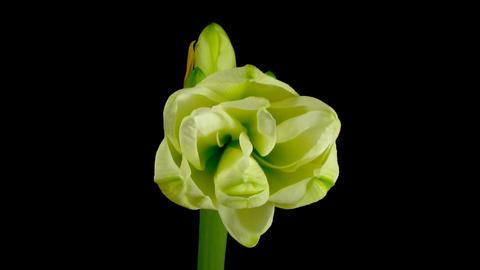 Time-lapse opening white amaryllis bud against black... Stock Video Footage