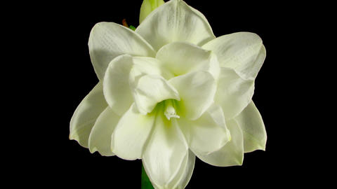 Time-lapse opening white amaryllis bud against black background 2 Footage