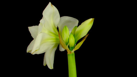 Time-lapse opening white amaryllis bud against black... Stock Video Footage