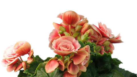 Time-lapse growing and blooming pink begonia flower... Stock Video Footage