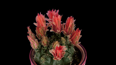Time-lapse of red cactus buds opening 2 isolated on black Stock Video Footage
