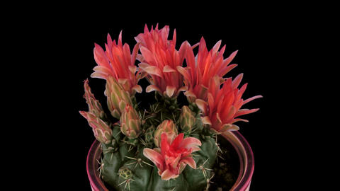 Time-lapse of red cactus buds opening 2 isolated on black Footage