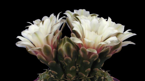 Time-lapse of white cactus bud opening 3 isolated on black Stock Video Footage