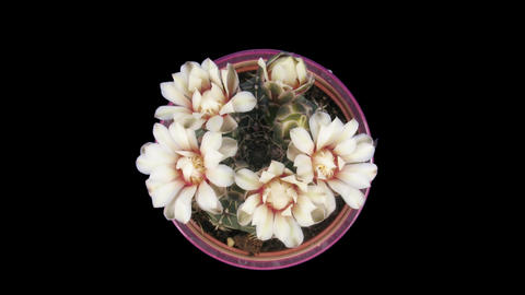 Time-lapse of white cactus bud opening 5 isolated black top Stock Video Footage
