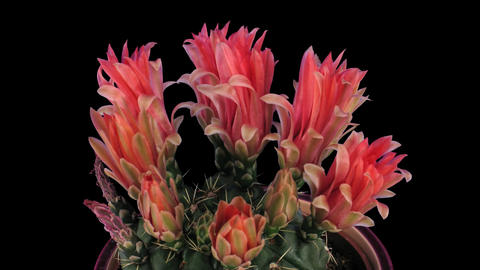 Time-lapse of red cactus buds blooming 7 isolated on black Stock Video Footage