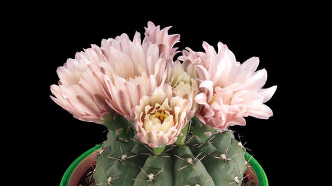 Time-lapse of pink cactus buds blooming 9 isolated on black Stock Video Footage