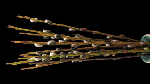 Time-lapse of growing willow catkins isolated on black,... Stock Video Footage