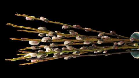 Time-lapse of growing willow catkins isolated on black, vertical 5 Footage