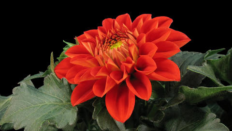 Time-lapse of blooming red dahlia 4 isolated on black front Stock Video Footage