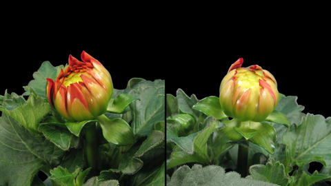 Time-lapse blooming red dahlia 6d isolated black two... Stock Video Footage
