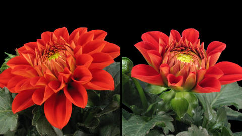 Time-lapse blooming red dahlia 6d isolated black two synchronised cameras Footage