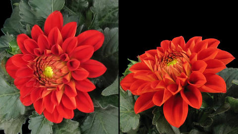 Time-lapse blooming red dahlia 8d isolated black two synchronised cameras Footage