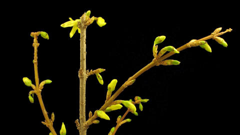 Time-lapse of opening forsythia flowers isolated on black 1a Stock Video Footage