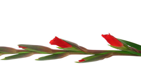 Time-lapse of red gladiolus flower opening vertical composition 3Time-lapse of red gladiolus flower Footage