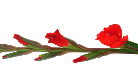 Time-lapse of red gladiolus flower opening vertical... Stock Video Footage