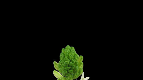 Time-lapse growing white hyacinth Christmas flower 3... Stock Video Footage