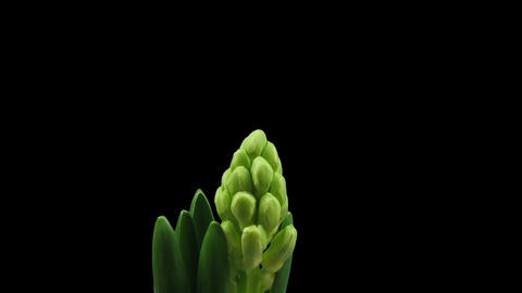 Time-lapse of growing white hyacinth Christmas flower 4... Stock Video Footage