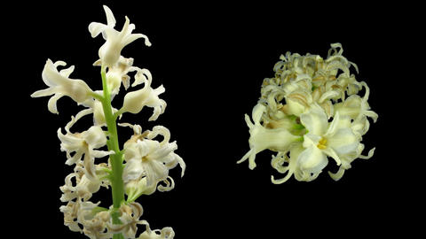 Time-lapse dying white hyacinth Christmas flower 3 two... Stock Video Footage