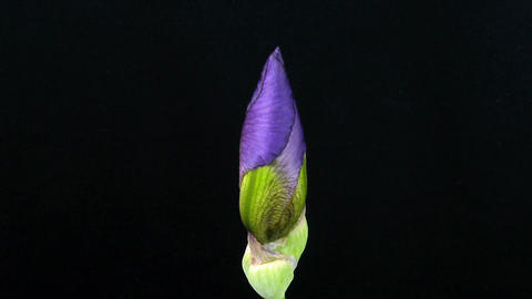 Time-lapse of growing blue iris flower 2 Stock Video Footage