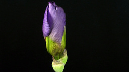Time-lapse of growing blue iris flower 2 Footage