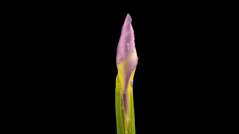 Time-lapse of growing blue iris flower 6 isolated black... Stock Video Footage